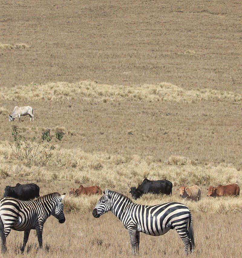 2 days safari  to Tarangire and Ngorongoro crater has been designed to offer closeness to Tanzania wilderness for short but intense Tanzanian Northern Circuit safari experience, for a shorter and time constrained