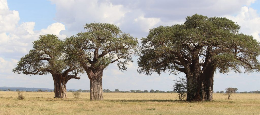Tarangire National Park is the home of giant elephants that available only in Tanzania