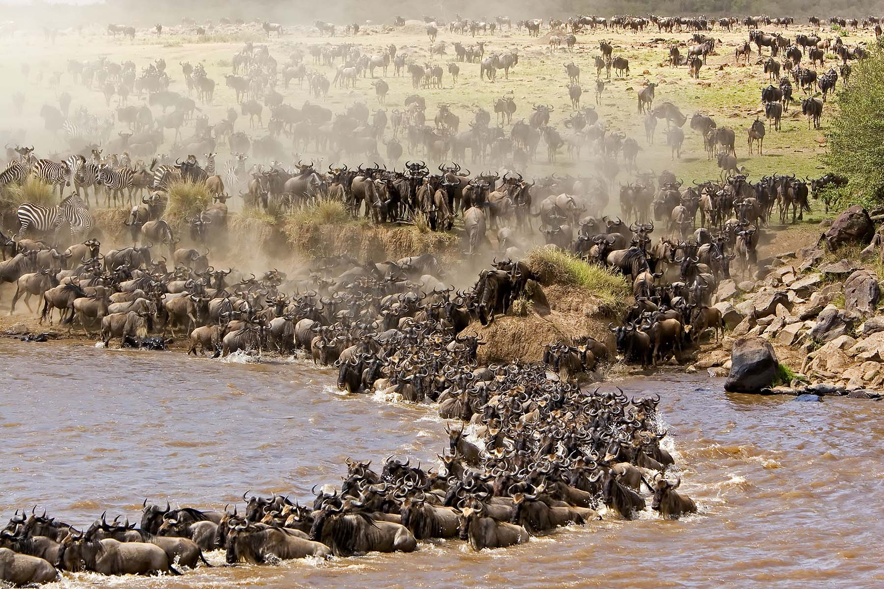 The great Serengeti wildebeest migration is the movement of vast numbers of the Serengeti's wildebeest,